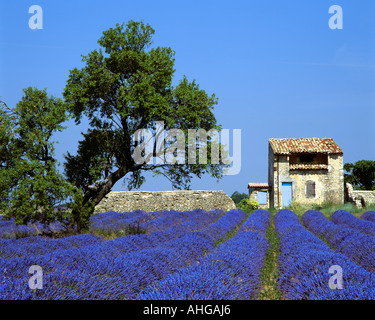 FR - ALPES-DE-HAUTE-PROVENCE: Lavendelfeld und Baum auf Plateau de Valensole in der Nähe von Puimoisson - Stockfoto
