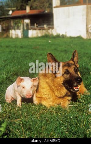 Schäferhund. Ausgewachsener Hund mit Ferkel auf einer Wiese - Stockfoto