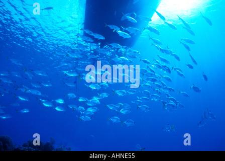 Schule-Buchsen unter Tauchboot am blutigen Bucht Karibik Little Cayman - Stockfoto