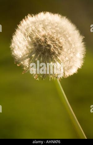 Ein Löwenzahn Samen-ball - Stockfoto