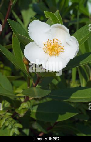 Loblolly Bay Gordonia Lasianthus Blume und Blatt Baum Familie weiße ...