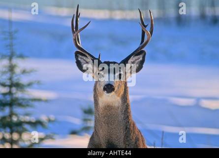 Mule Deer Bock 4 - Stockfoto