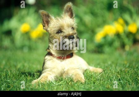 junge Cairn Terrier - Stockfoto