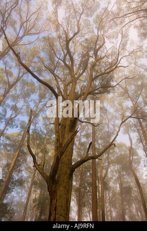 Eberesche in Morgen Nebel, Dandenong Ranges National Park, Victoria, Australien