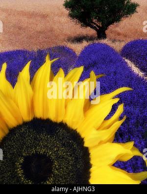 FR - ALPES-DE-HAUTE-PROVENCE: Sonnenblume & Lavendel - Stockfoto