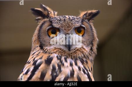 Eurasische oder europäische Adlereule Bubo bubo Nahaufnahme - Stockfoto