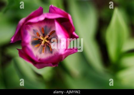 Violette Tulpen, Tulipa, von oben gesehen mit einem Hintergrund von grünem Laub. Geringe Schärfentiefe mit Fokus - Stockfoto