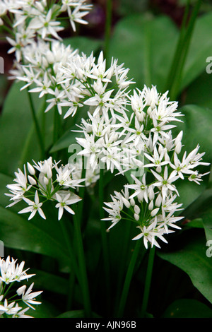 Wilder Knoblauch oder Ramsoms Allium Ursinum in Blüte in schattigen Wäldern - Stockfoto