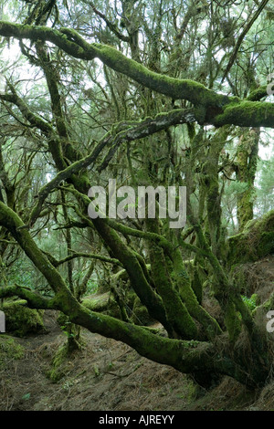 Spanien, Kanarische Inseln, El Hierro, Wanderweg in die Fayal-Brezal-Wald in der Nähe von Fuente de Los Reyes - Stockfoto