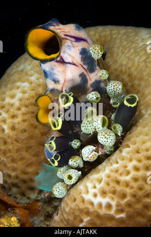 Colonie von Manteltieren oder Seescheiden Polycarpa Aurata Clavelina Robusta Didemnum Molle Lombok Indischer Ozean - Stockfoto