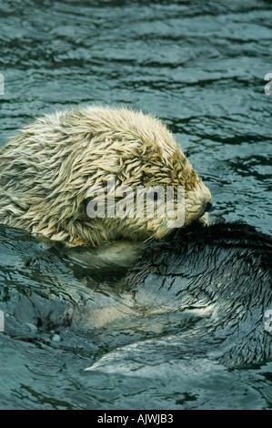 SEEOTTER (Enhydra Lutris) in Gefangenschaft, Pazifikküste USA - Stockfoto