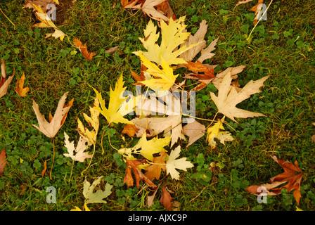 Autmn verlässt gefallenen Silber-Ahorn (Acer Saccharinum) auf dem Rasen - Stockfoto