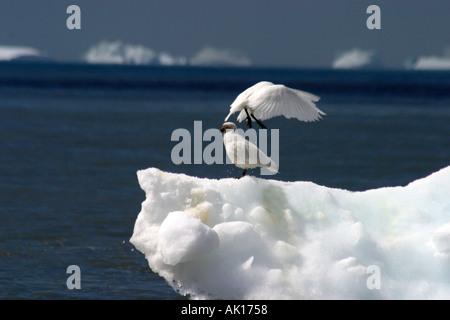 Schnee Petrels Pintado Petrel stehend auf einem kleinen Eisberg aus St Andrews Bay South Georgia Inseln Scotia Sea - Stockfoto
