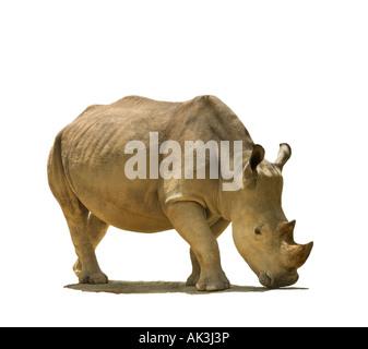 Ausschnitt Porträt Nashörner Breitmaulnashorn Rhino quadratische lippige Rhinoceros wilde asiatische indische Nashorn - Stockfoto