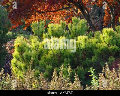Pinus Mugo Ophir mit Herbst getönt japanischen Acer im Hintergrund - Stockfoto