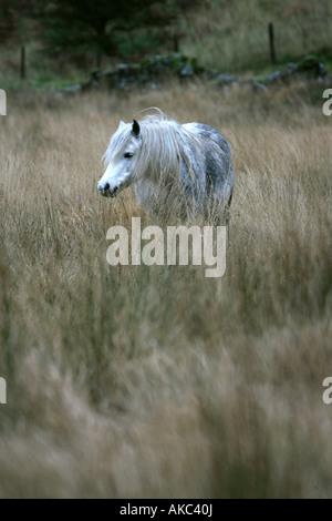 Ein wildes Pferd weidet auf den Brecon Beacons National Park, Wales. - Stockfoto