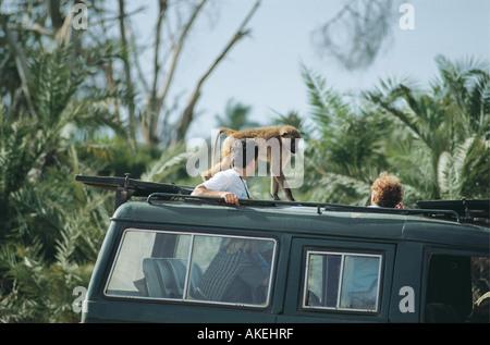 Gelbe Paviane gehen auf das Dach eines Fahrzeugs Safari im Amboseli Nationalpark Kenia in Ostafrika - Stockfoto