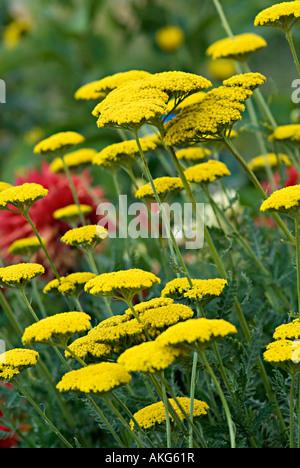 achillia mit gelben blütenstand achilleas sind fröhlich grenze,