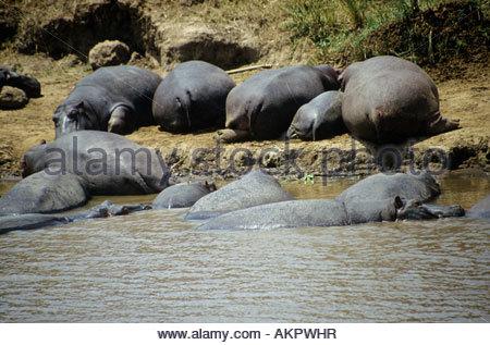 Nilpferde im Fluss - Stockfoto
