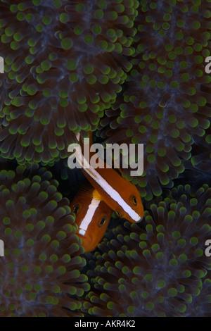 Stinktier Anemonenfischen Amphiprion Sandaracinos auf Maratua Borneo - Stockfoto