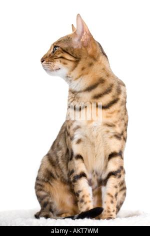 Bengal-Katze isoliert auf weißem Blick zur Seite - Stockfoto
