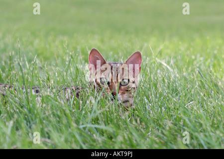 Bengal Kätzchen versteckt in den grünen Rasen - Stockfoto