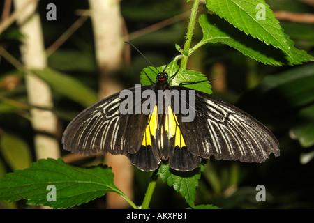 Tropischer Schmetterling, gemeinsame Vogelfalter (Troides Helena) - Stockfoto