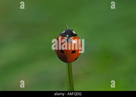 Sieben-Punkt-Marienkäfer (Coccinella Septempunctata) - Stockfoto
