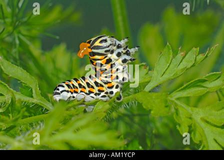 Schwalbenschwanz (Papilio Machaon). Caterpillar bäumt sich bei Gefahr und sprüht eine übel riechende Flüssigkeit - Stockfoto