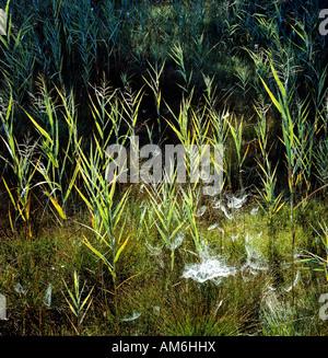 Schilf im Gegenlicht, Spinnweben, Sumpf - Stockfoto