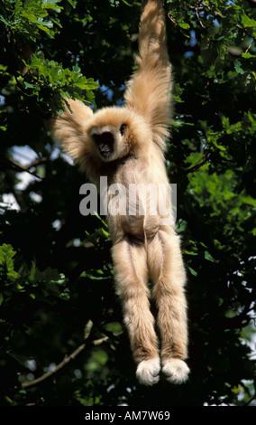 Weiß übergab Gibbon Hylobates Lar in Gefangenschaft von Baum Baldachin Sabah hängen - Stockfoto