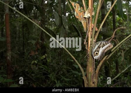 Wald Riesen Eule Schmetterling Caligo Eurilochus Iquitos Peru - Stockfoto