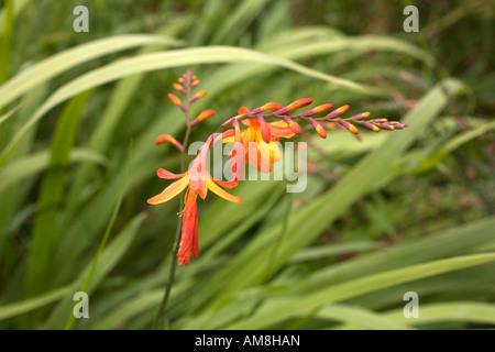 Montbretia Crocosmia Crocosmiiflora in Blüte - Stockfoto