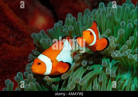 Zwei Clown Anemonefishes Amphiprion Ocellaris Indonesien Bali Indischer Ozean - Stockfoto