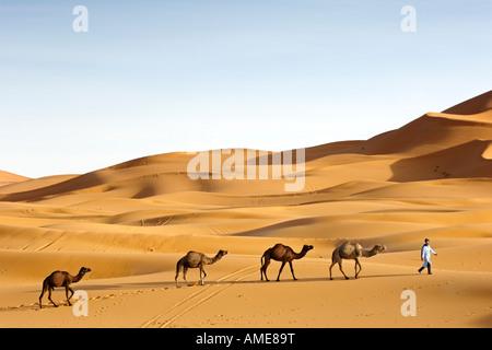Ein Berber Dromedar Kamele in den Dünen von Erg Chebbi in der Nähe von Merzouga am Rande der Wüste Sahara in Marokko - Stockfoto
