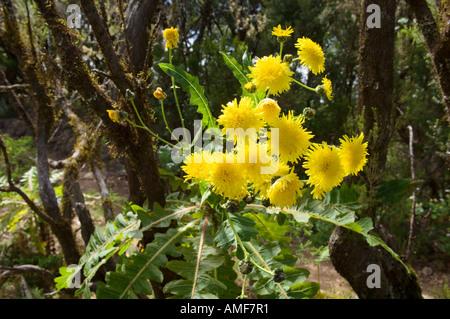 Wilde Blumen im Nationalpark Garajonay, La Gomera, Kanarische Inseln. Ortuno Sow Thistle in voller Blüte. Sonchus - Stockfoto