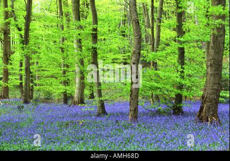 Glockenblumen in Buche Wald - Stockfoto