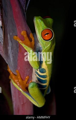 Rotäugigen Treefrog Agalychnis Callidryas - Captive - Eingeborener nach Südamerika - Stockfoto