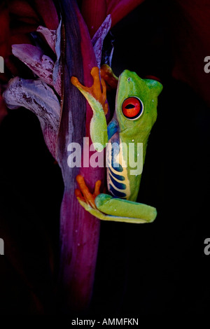 Rotäugigen Baumfrosch (Agalychnis Callidryas) - Captive - Eingeborener nach Südamerika - Stockfoto