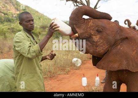 Afrikanischer Elefant-Keeper Fütterung Milch angenommen Baby afrikanische Elefanten im David Sheldrick Wildlife - Stockfoto