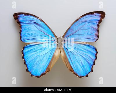 Top Shot plan extreme Nahaufnahme eines Menelaus blaue Morpho (Morpho menelaus) Schmetterling, eröffnete Winged, - Stockfoto