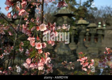 Tokyo Japan Pink Cherry Blossom am Tōshōgū-Schrein in Ueno-Park - Stockfoto