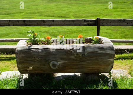 Tagetes (Tagetes) in Log Pflanzer, Alpe Veglia, Italien - Stockfoto
