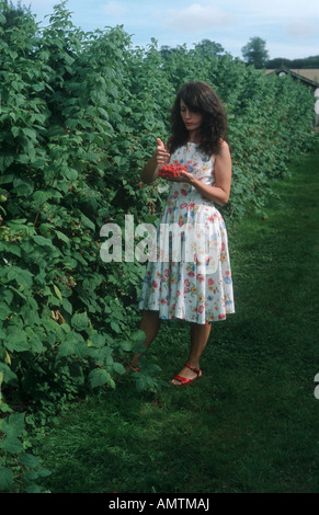 Frau pflücken Himbeeren in Somerset - Stockfoto