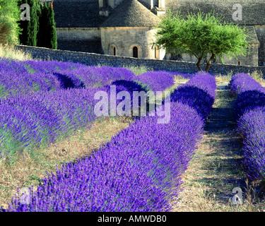 FR - VAUCLUSE: Abbaye Notre Dame de Senanque in der Nähe von Gordes - Stockfoto