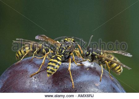 deutsche wespe vespula germanica verschiedene wespen arten und honig biene auf eine pflaume. Black Bedroom Furniture Sets. Home Design Ideas