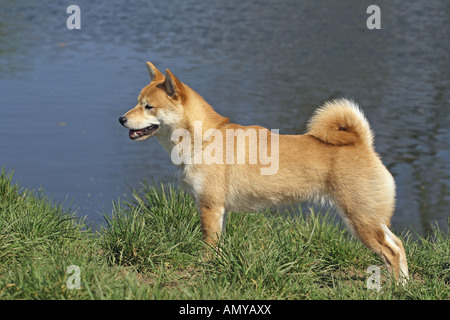Shiba Inu stehen am Ufer - Stockfoto