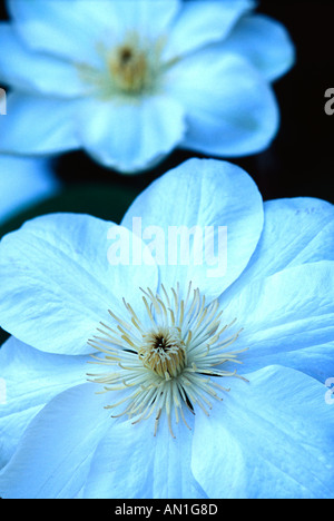 Clematis-Rebe-Guernsey-hybrid - Stockfoto