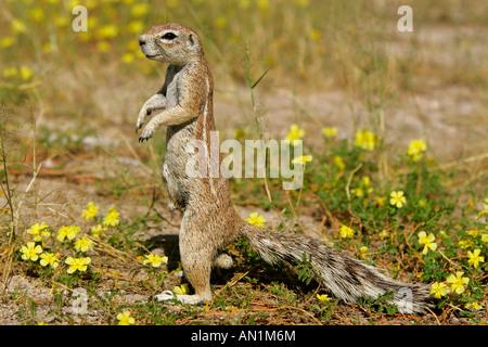 Kap-Borstenhörnchen Xerus Inauris Essen blüht Etosha Nationalpark Namibia Afrika - Stockfoto