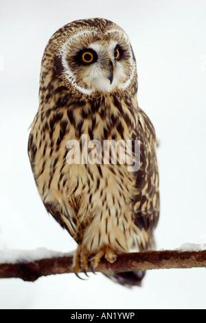Sumpfohreule Asio Flammeus Short eared Owl - Stockfoto